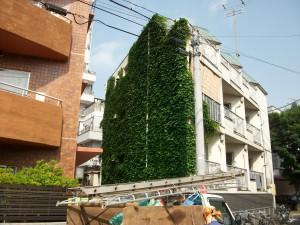 板橋区でツタ取り作業