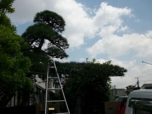 松剪定と松の枝支柱